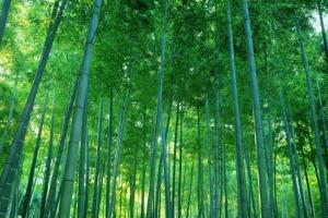 花卉养护知识:竹的栽植与养护方法