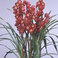 大花惠兰产品展示
