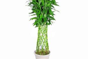富贵竹笼产品展示