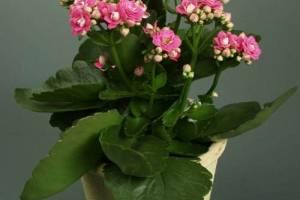 长寿花产品展示