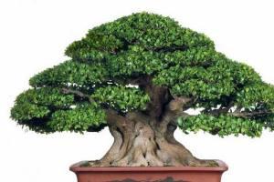 榕树盆景产品展示