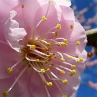 樱桃花百科